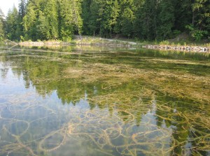 77 acre of this Bay were completely impacted by Eurasian Milfoil prior to 2006 Renovate Herbicide Treatment